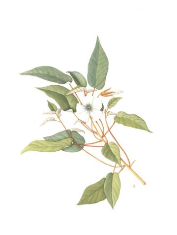 Trochetiopsis ebenus